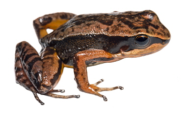 Kingsbury's rocket frog (Allobates kingsburyi) at altitude of 2000m. Paquisha Alta, Cordillera del Condor, Ecuador.