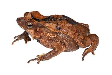 Mouse-eared toad (Rhinella dapsilis) female. Yasuni National Park, Ecuador.