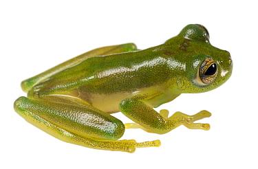 Jambue glass frog (Espadarana durrellorum), a very rare species, Amazon Rainforest, Yasuni National Park, Ecuador.
