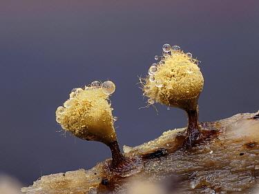 Slime mould (Hemitrichia clavata), mature sporangia covered in dew. Buckinghamshire, England, UK. November. Focus stacked image.