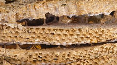 German wasp (Vespula germanica) inside nest, horizontal combs separated by vertical petioles. Wiltshire, England, UK. July.