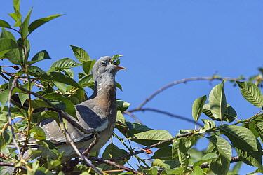 Wood pigeon (Columba palumbus) juvenile swallowing Morello cherry (Prunus cerasus). Wiltshire, England, UK. June.