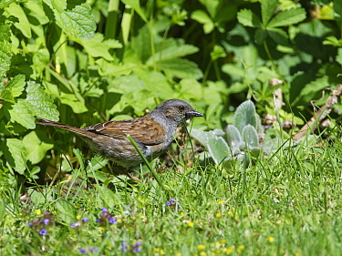 Dunnock (Prunella modularis) foraging for insects on garden lawn. Wiltshire, England, UK. June.