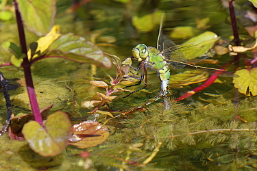 Emperor dragonfly (Anax imperator) female ovipositing whilst standing on pond vegetation. Wiltshire, England, UK. May.