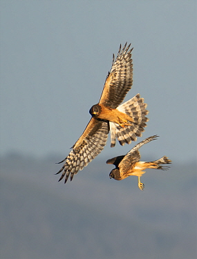 Northern harrier (Circus hudsonius), two juvenile females hunting. North Park, Colorado, USA. August.