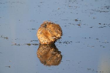 Muskrat (Ondatra zibethicus) feeding on pond weed. Arapaho National Wildlife Refuge, Colorado, USA. August.