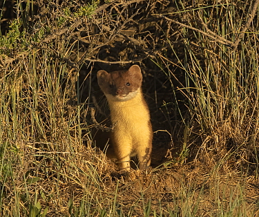 Short-tailed weasel (Mustela erminea) emerging from one of tunnels. Arapaho Wildlife Refuge, Colorado, USA. June.