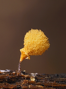 Slime mould (Hemitrichia clavata) sporangium, split open to reveal sponge containing spores. Hertfordshire, England, UK. September. Focus stacked image.