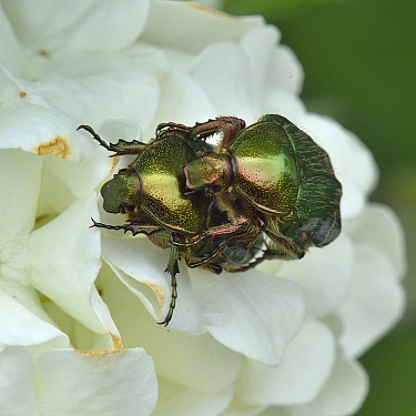 Rose chafer beetles (Cetonia aurata) pair mating, Vendee, France, April.