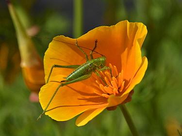 Great green bush cricket (Tettigonia viridissima) juvenie on California poppy flower, Vendee, France, May.