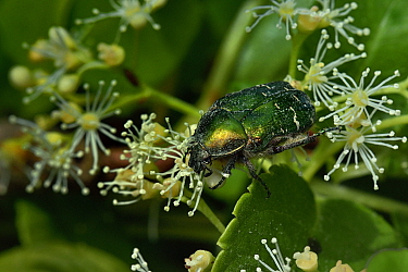 Rose chafer beetle (Cetonia aurata) on climbing hydrangea flower (Hydrangea petioralis) Vendee, France, May.