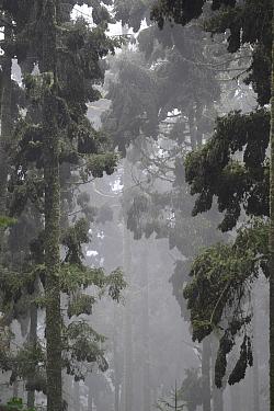 Oyamel tree full of Monarch butterflies (Danaus plexippus) in fog, Sierra Chincua Sanctuary, Mexico.