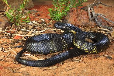 Tasmanian tiger snake (Notechis scutatus) male, Launceston, Tasmania, Australia. Controlled conditions.