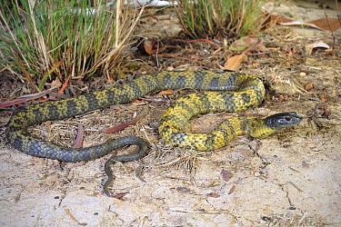 Tasmanian tiger snake (Notechis scutatus) sub adult female, Hobart, Tasmania. Controlled conditions.
