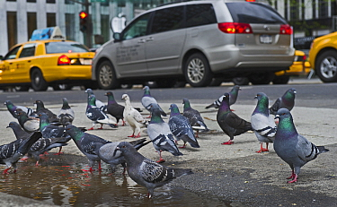 Feral pigeons (Columba livia) on pavement, with cars and taxis, New York City, USA, May.