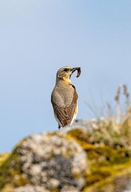 Northern wheatear (Oenanthe oenanthe), Saddle Tor, Dartmoor, Devon , UK. June.