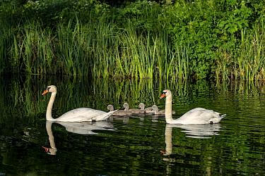 Mute swan, (Cygnus olor) pair with cygnets, near Turf Locks, Exeter Canal, Devon , UK. May.