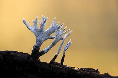 Candlesnuff fungus (Xylaria hypoxylon). New Forest National Park, England, UK. November.