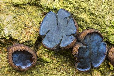 Black bulgar fungus (Bulgaria inquinans). Dorset, England, UK. October.