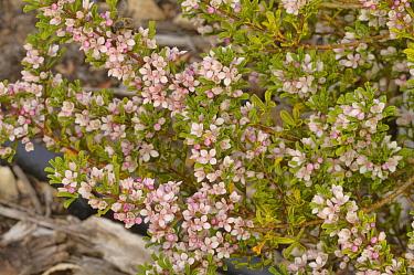 Stinky boronia (Boronia anemonifolia). Tasmania, Australia. November.