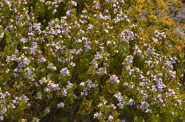 Lemon-scented boronia (Boronia citriodora). Tasmania, Australia. January.