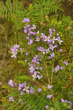 Hairy boronia (Boronia pilosa). Tasmania, Australia. November.