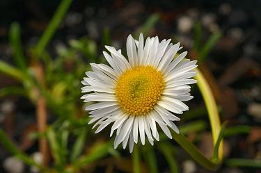 Marsh daisy (Brachyscome radicans). Tasmania, Australia. November.