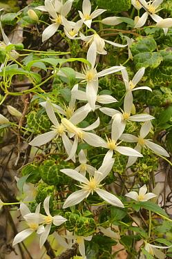 Southern clematis (Clematis aristata). Tasmania, Australia. November.