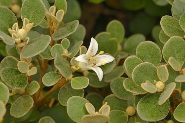 White correa (Correa alba). Tasmania, Australia. January.