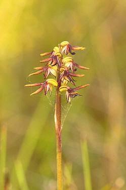 Elfin midge orchid (Corunastylis archeri). Tasmania, Australia. December.