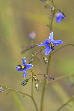 Tasman flax-lily (Dianella tasmanica). Tasmania, Australia. November.