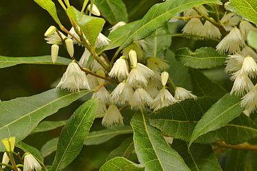 Blueberry ash (Elaeocarpus reticulatus). Tasmania, Australia. January.