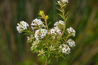 Bearded heath (Epacris barbata). Tasmania, Australia. October.