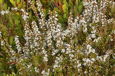 Alpine heath (Epacris serpyllifolia). Tasmania, Australia. November.