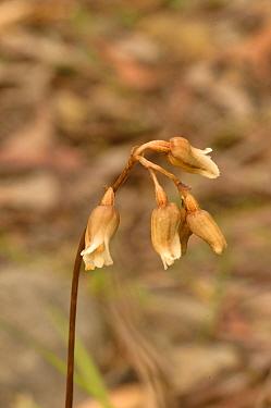 Potato orchid (Gastrodia sesamoides). Tasmania, Australia. December.