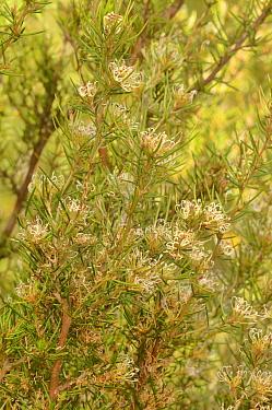 Southern grevillea (Grevillea australis). Tasmania, Australia. November.
