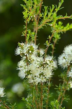 White kunzea (Kunzea ambigua). Tasmania, Australia. November.