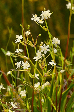 Pretty grass-flag (Libertia pulchella). Tasmania, Australia. November.