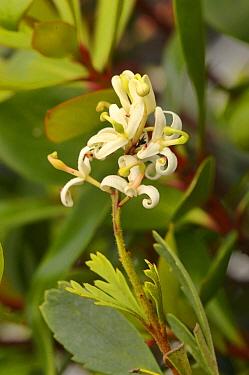 Mountain guitarplant (Lomatia polymorpha). Tasmania, Australia. November.