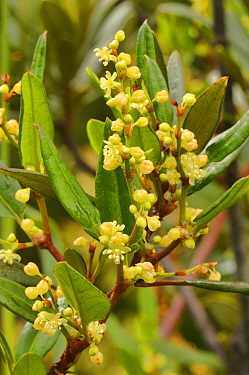 Macquarie vine (Muehlenbeckia gunnii). Tasmania, Australia. December.