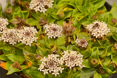 Spiny everlasting (Nablonium calyceroides). Tasmania, Australia. December.