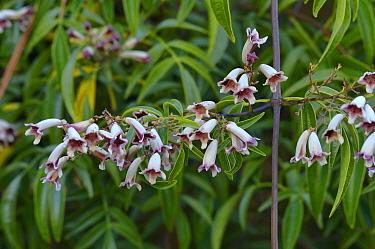 Wonga vine (Pandorea pandorana). Tasmania, Australia. October.