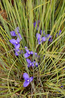 Short purpleflag (Patersonia fragilis). Tasmania, Australia. November.