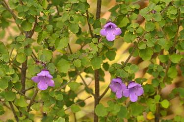 Roundleaf mintbush (Prostanthera rotundifolia). Tasmania, Australia. November.
