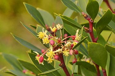 Mountain pepper (Tasmannia lanceolata). Tasmania, Australia. October.