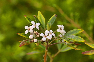 Stinkwood (Zieria arborescens). Tasmania, Australia. October.
