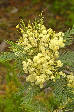 Black wattle (Acacia mearnsii). Tasmania, Australia. December.