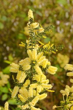Prickly moses (Acacia verticillata). Tasmania, Australia. October.