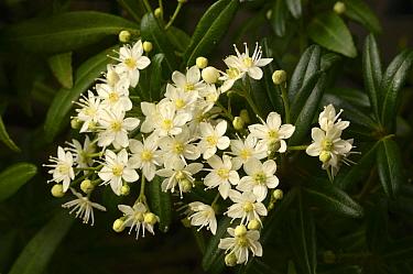 Whitey wood (Acradenia frankliniae). Tasmania, Australia. November.