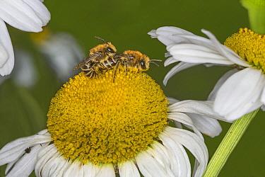 Colletes bees (Colletes daviesanus) mating on Ox-eye daisy (Leucoanthemum vulgare) in garden Cheshire, UK, June.